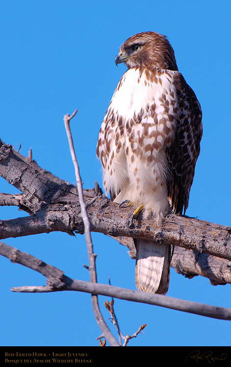 LightJuvenile_Red-Tail_X3730M