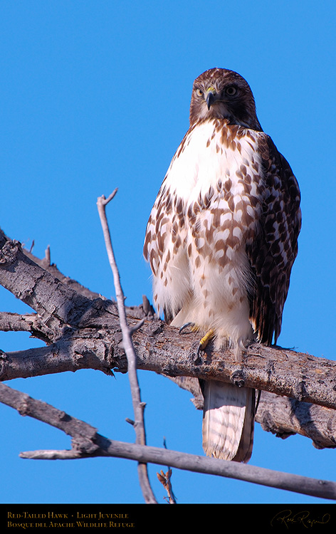 LightJuvenile_Red-Tail_X3738M