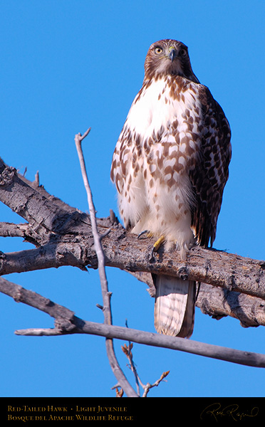 LightJuvenile_Red-Tail_X3744