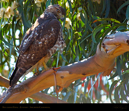 Red-Tailed_Hawk_Juvenile_1748M