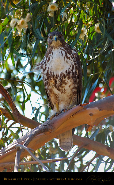 Red-Tailed_Hawk_Juvenile_1762