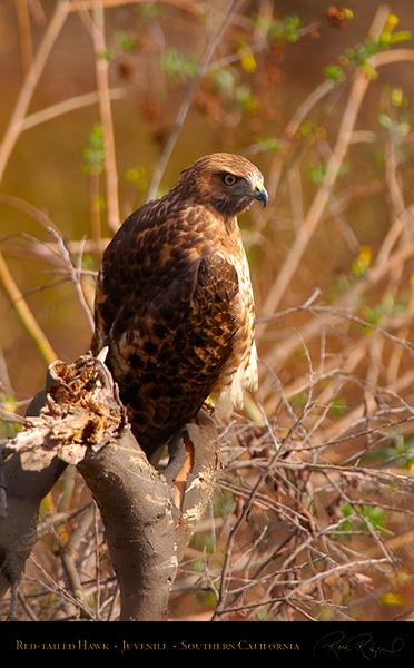 Red-Tailed_Hawk_Juvenile_5613