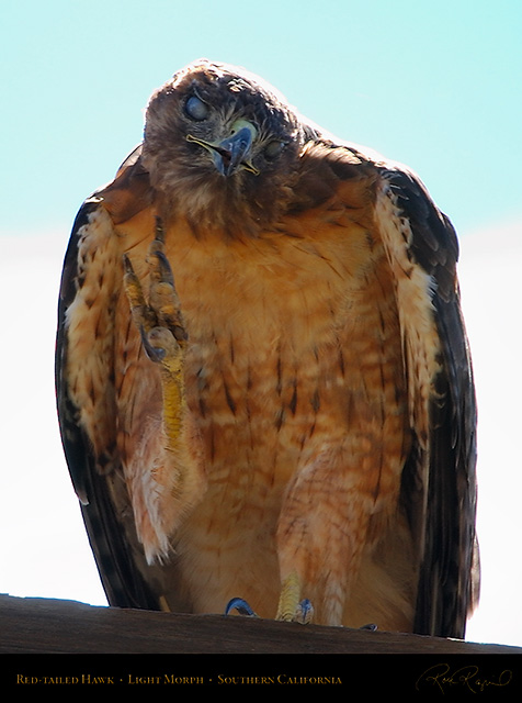 Red-Tailed_Hawk_LightMorph_1316