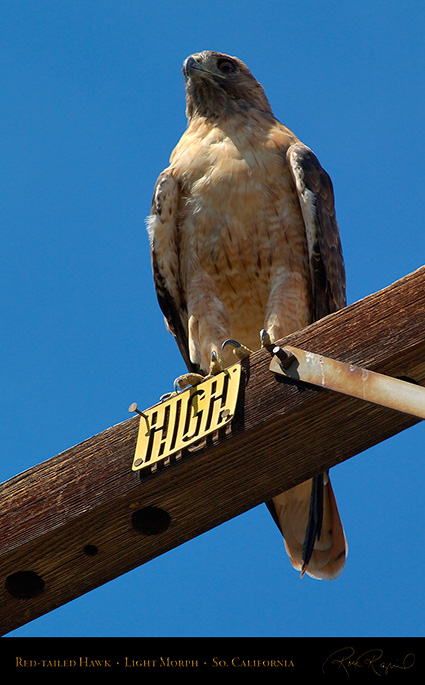 Red-Tailed_Hawk_LightMorph_1341