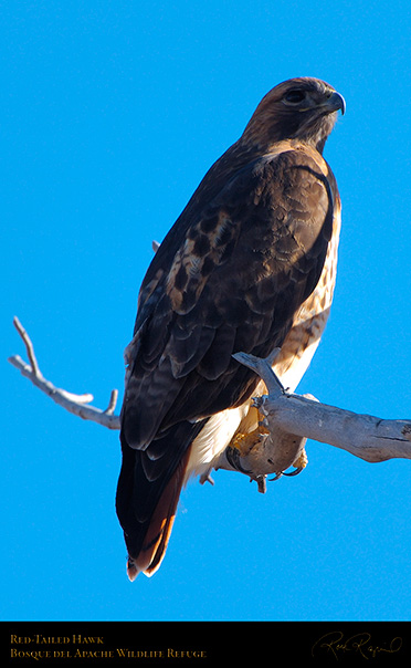 Red-Tailed_Hawk_X9068