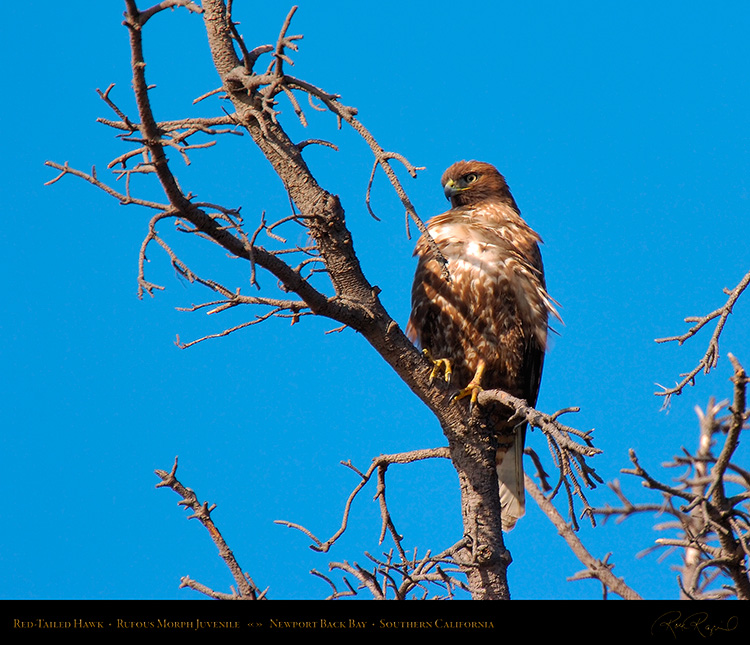 RufousMorph_Red-Tail_Juvenile_4285M