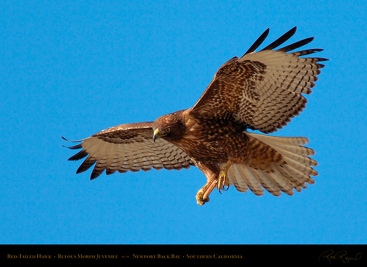 RufousMorph_Red-Tail_Juvenile_4296