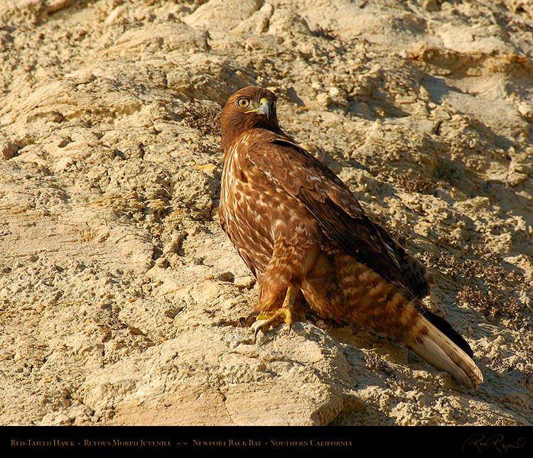 RufousMorph_Red-Tail_Juvenile_4300M