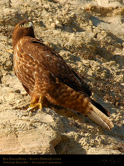 RufousMorph_Red-Tail_Juvenile_4306c
