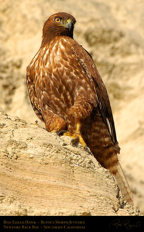 RufousMorph_Red-Tail_Juvenile_4315c