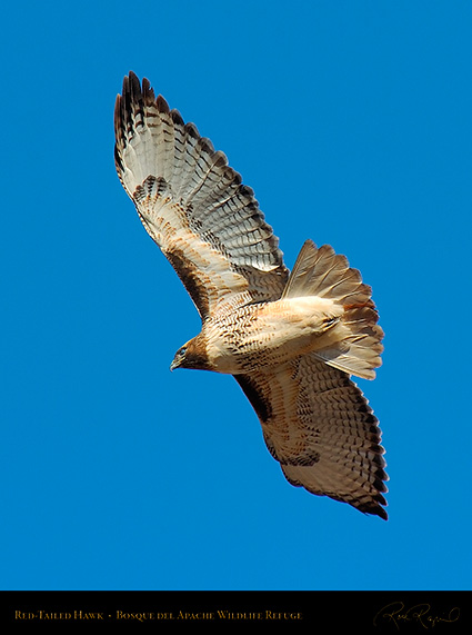 Red-Tailed_Hawk_1948