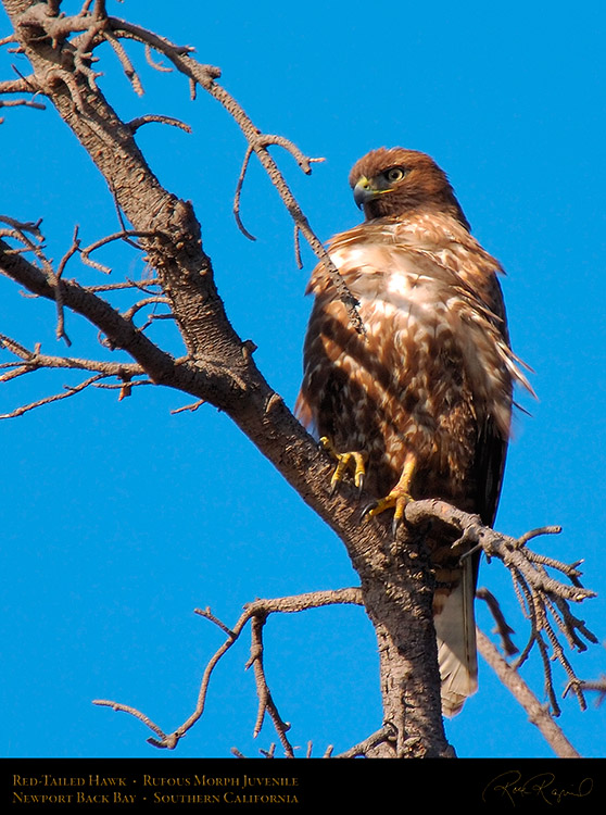 RufousMorph_Red-Tail_Juvenile_4285c