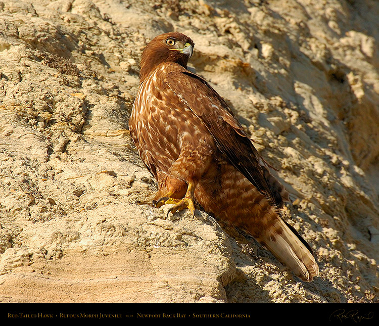 RufousMorph_Red-Tail_Juvenile_4310M