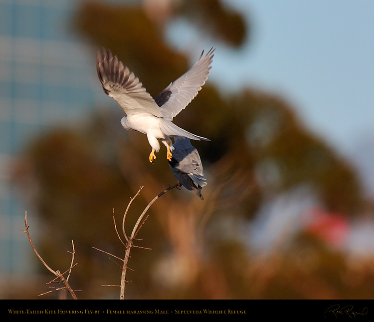 White-Tailed_Kite_Fly-by_HS6885M