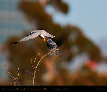 White-Tailed_Kite_Fly-by_HS6887M