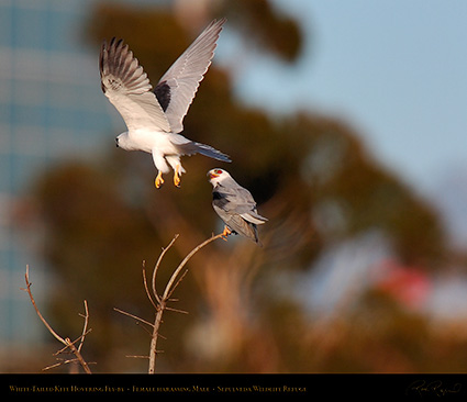 White-Tailed_Kite_Fly-by_HS6888M