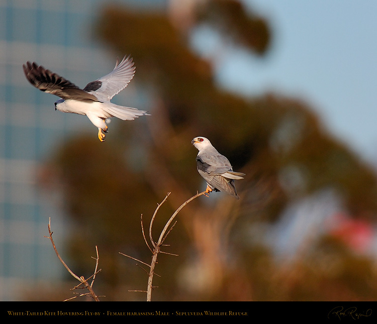 White-Tailed_Kite_Fly-by_HS6890M