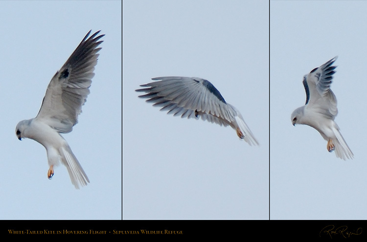 White-Tailed_Kite_Hovering