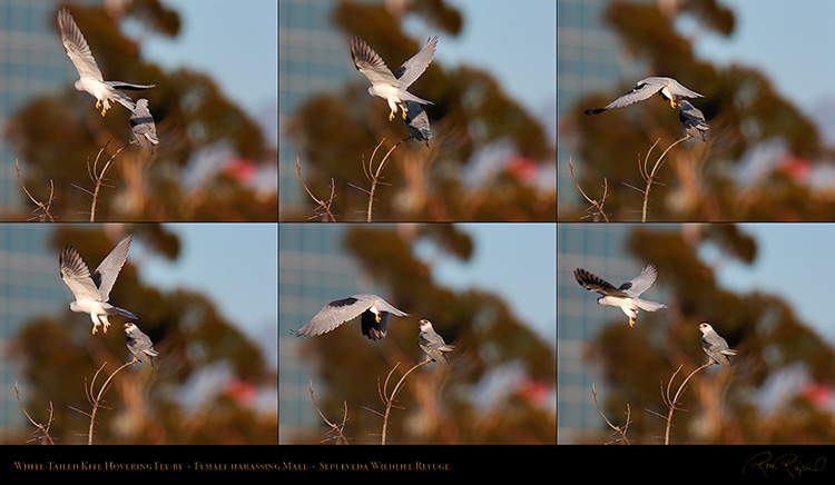 White-Tailed_Kite_Hovering_Fly-by_SXXL