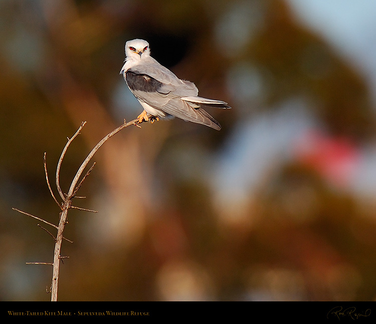 White-Tailed_Kite_Male_HS6831M