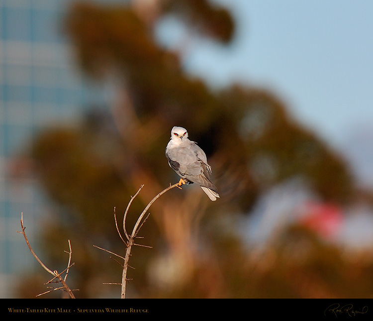 White-Tailed_Kite_Male_HS6880M