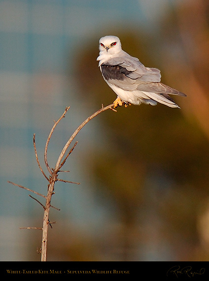 White-Tailed_Kite_Male_HS6899c