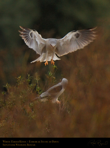 White-Tailed_Kites_Ethereal_Fly-by_X3016
