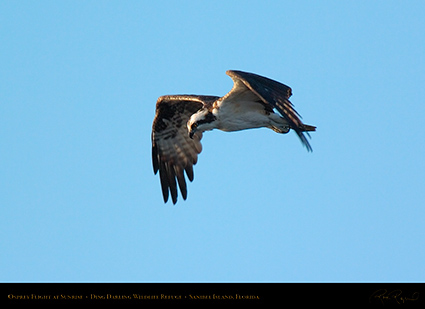 Osprey_Flight_atSunrise_9779