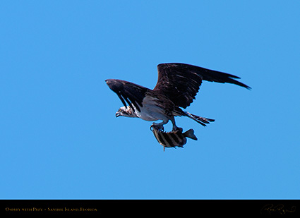 Osprey_withPrey_0806