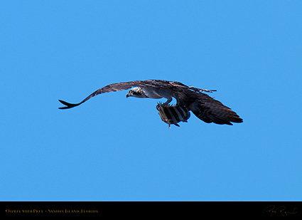 Osprey_withPrey_0807