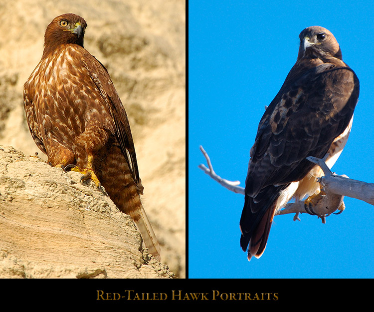 Red-Tail_Portraits
