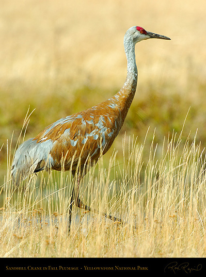 SandhillCrane_Yellowstone_0492