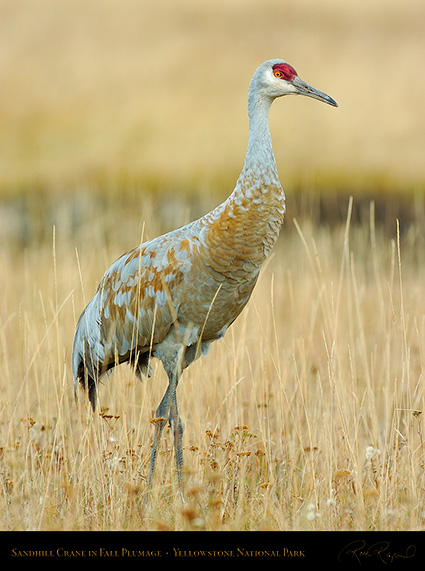 SandhillCrane_Yellowstone_9599