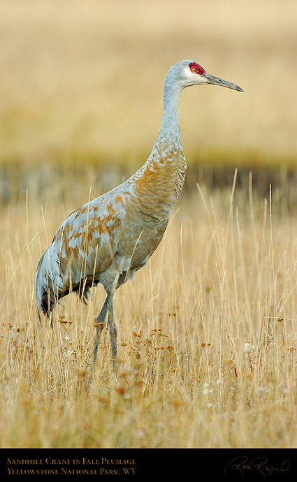 SandhillCrane_Yellowstone_9603