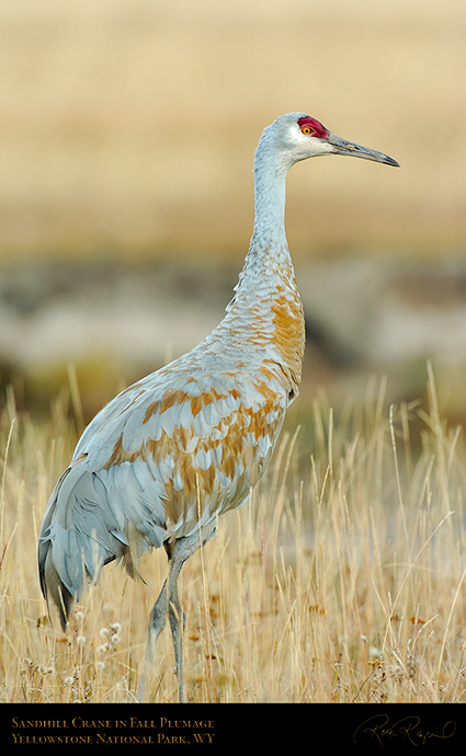 SandhillCrane_Yellowstone_9628