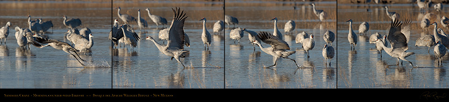 SandhillCrane_Counter-Wind_Takeoff_LG