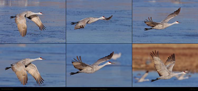 Sandhill_Crane_Flight_Portraits_SXXL