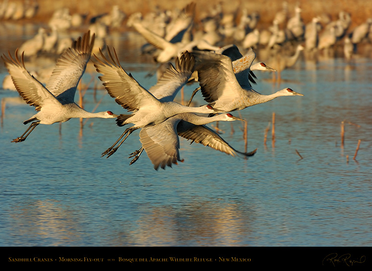 SandhillCranes_MorningFly-out_3915