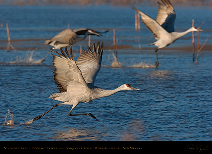 SandhillCrane_MorningFlyout_4747