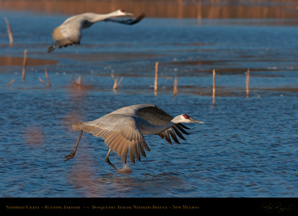 SandhillCrane_MorningFlyout_4752