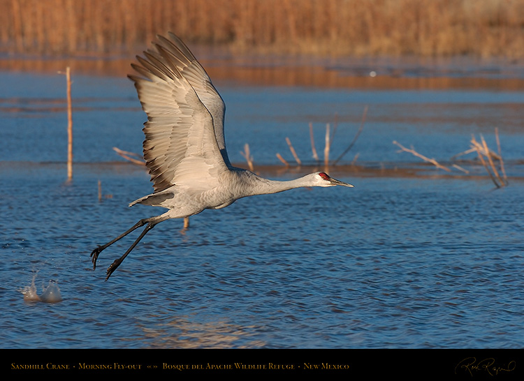 SandhillCrane_MorningFlyout_4759