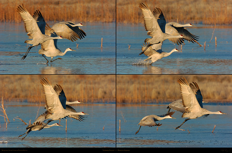 Sandhill_Cranes_Morning_Takeoff_XXL