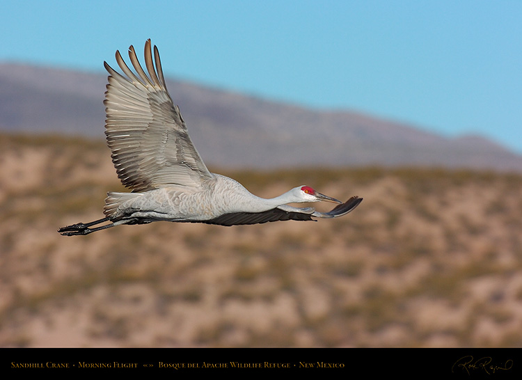 SandhillCrane_MorningFlight_1812