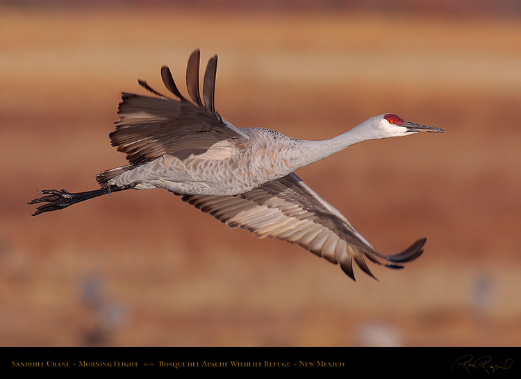 SandhillCrane_MorningFlight_HS0732