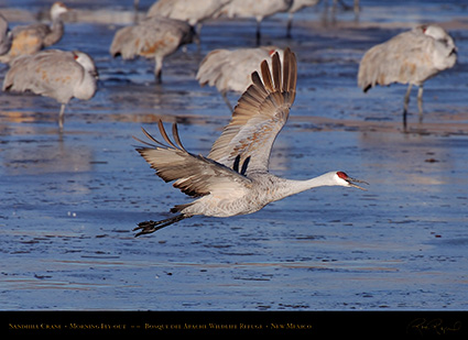 SandhillCrane_MorningFlyout_HS0713