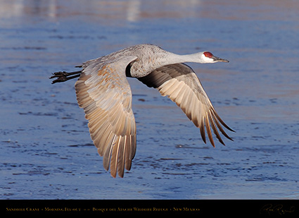 SandhillCrane_MorningFlyout_HS0717