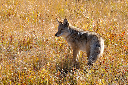 Coyote_TowerJunction_9298c