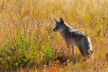 Coyote_TowerJunction_9301