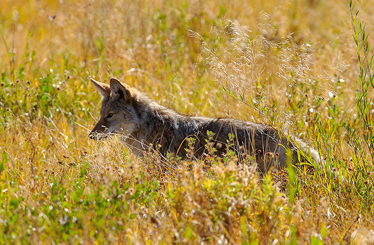 Coyote_TowerJunction_9310