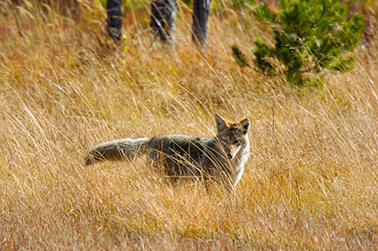 Coyote_WillowPark_0610